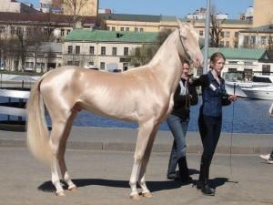 Akhal_Teke_gold_horse-600x450