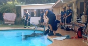 horse-rescue-from-pool