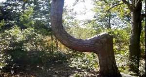 treebend1